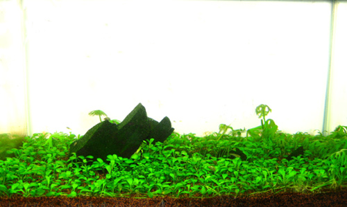 2.5G Aquascaping for GWAPA Contest