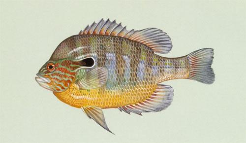 Longear sunfish - Lepomis megalotis