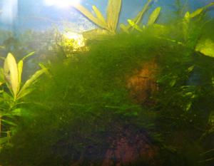 Cladaphora - SOS pad algae!