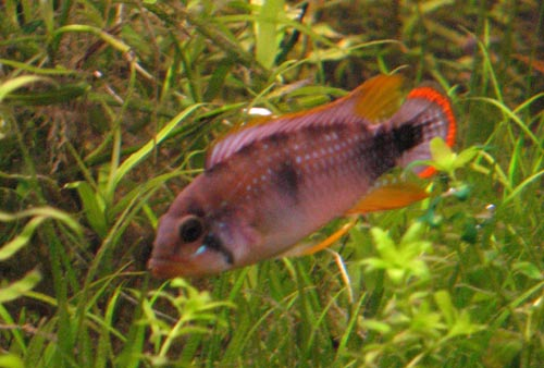 Posted in 40G Tank Log , Fish Profiles 1 Comment ?