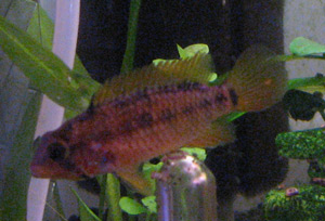 apisto viejita female