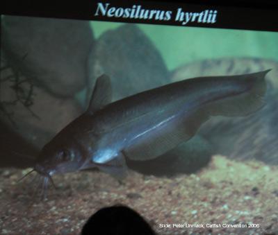 Neosilurus hyrtlii