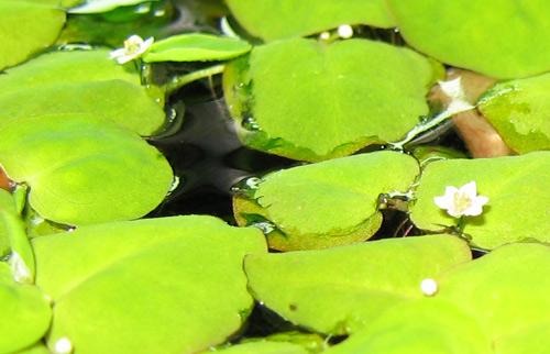 Phyllanthus Fluitans Flowers! 10/11/2006