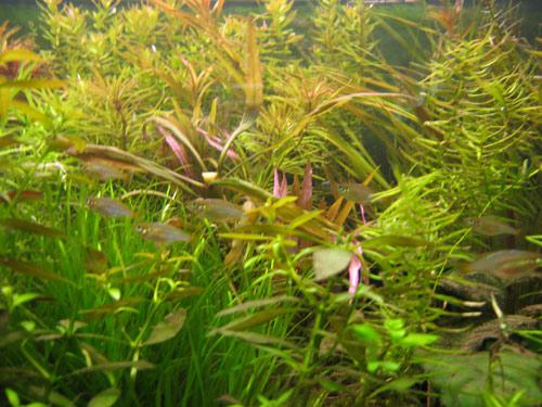 Praecox Dwarf Rainbowfish